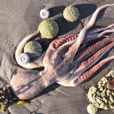 Kuollut mustekala hiekkarannalla