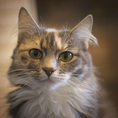 Kissa katsoo linssiin.