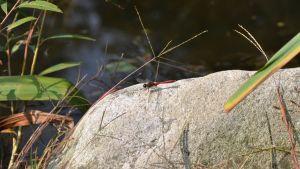 Sudenkorento kuvattu DMZ alueella, Etelä-Korea