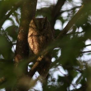 Uggla slumrar i träd.