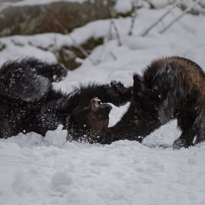 Ahmapari Julia ja Matti painii Ähtärin eläinpuistossa