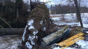 En båt ligger i gropen under roten på en gran som fallit i stormen.