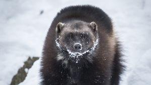 Ahma Ähtärin eläinpuistossa