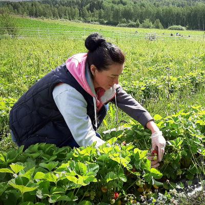 Veronika Ozvalt, en dam med svart hår i en knut, sitter på huk och plockar jordgubbar på en stor odling..