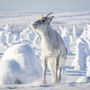 Renen Ailo i ett snötäckt fjällandskap.