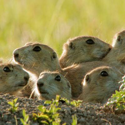 Joukko oravia kasassa tähystämässä eri suuntiin.