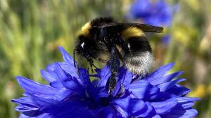 Mehiläinen ruiskaunokin päällä.