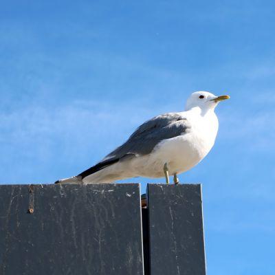 En fiskmås står på taket till en glasskiosk.
