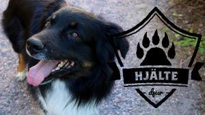 """En Australiensisk vallhund som har en tennisboll framför sig, på en grusväg. På högra sidan i förgrunden loggan för Yle Huvudstadsregionens artikelserie Hjältedjur - en sköld med ett tassavtryck i mitten, med texten """"Hjältedjur""""."""