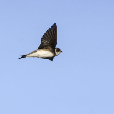 Törmäpääsky lentää sinisellä taivaalla.