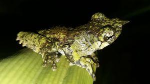 Lövgroda, Papua Nya Guinea