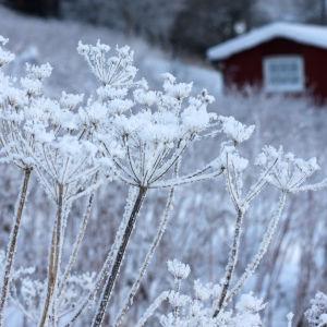 En torkad hundloka med snö på. I bakgrunden syns en röd stuga i ett vinterlandskap.