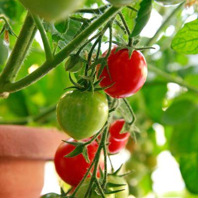 tomater i kruka.