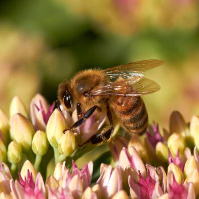 Närbild på ett bi som har landat på små gula och rosa knoppar.