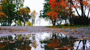 Höstprakt, träd i rött och gult speglar sig i vattenpöl.