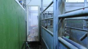 Utrymmet där djuren väntar på slakt har gröna väggar