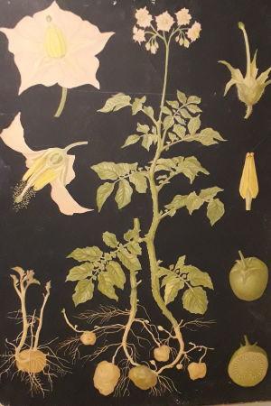 Inhemsk skolplansch föreställande potatisplanta, ritad av Ebba Masalin.