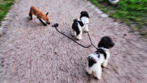 Kettu seuraa koiria.