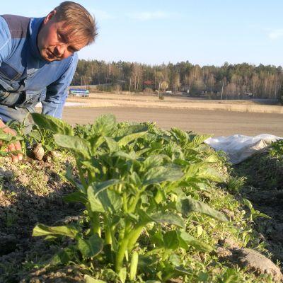 Harsojen alta paljastuu tasainen perunakasvusto. Maanviljelijä Antti Ruohonen on tyytyväinen.