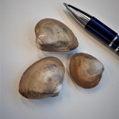 Rangia cuneata -simpukoita ja kynä