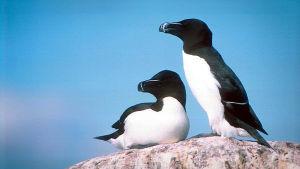 Pingviinin näköinen ruokki elää Suomen ulkosaaristossa.