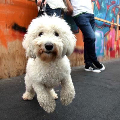 En vit hund på en bro. Hunden hoppar mot kameran. Graffiti i bakgrunden.
