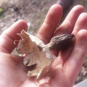 Kevin och Annika Kolster hittade denhär svampen då de grävde i gammal mull. Trycker man kommer det rök. Vad är det för en svamp?