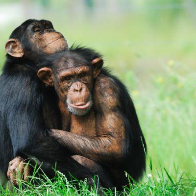 Kaksi simpanssia halaa toisiaan.