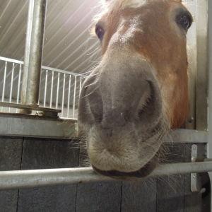 En brun häst tittar ut från båset.