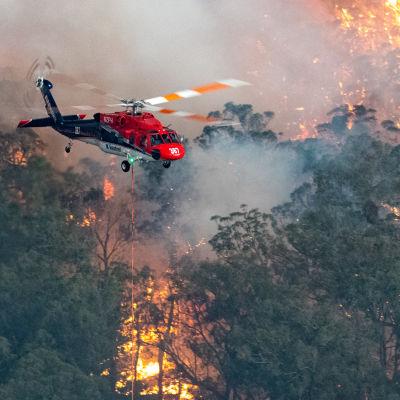 Helikopter bekämpar skogsbränder i delstaten Victoria, Australien.