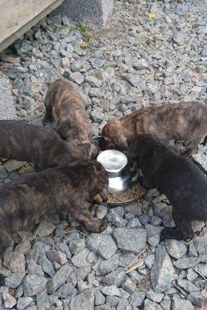 Viisi koiranpentua ruokakupin äärellä
