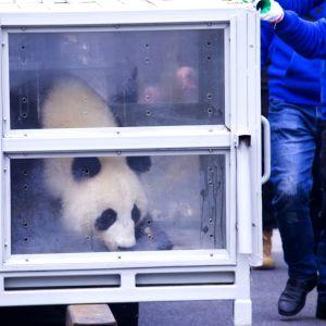 Jättepandan Jin Bao Bao i en bur på Helsingfors-Vanda flygstation