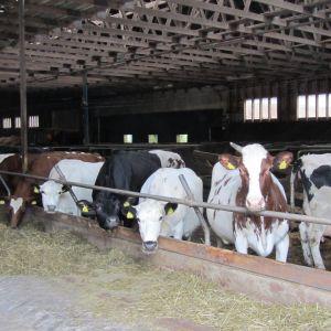 Bjarne Maras producerar ekologisk mjölk.