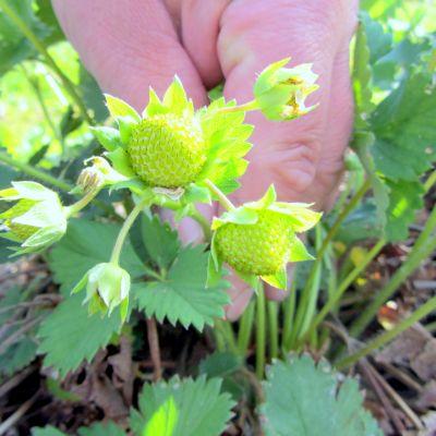 Råa jordgubbar