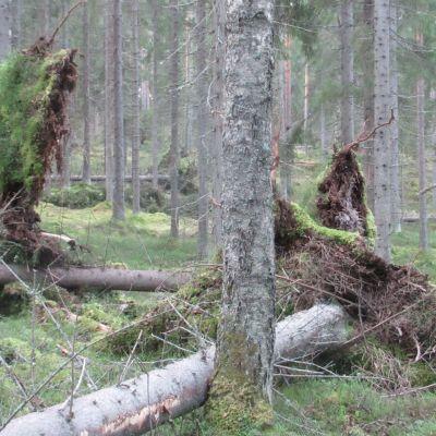 Myrskyn kaatamia kuusia metsässä