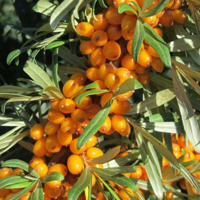 Kuva oransseista tyrnimarjoista.