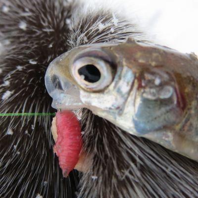 Kala ja kärpäsentoukka.