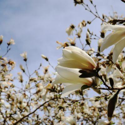 Arboretum Mustilan japaninmagnolia