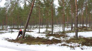 Bengt Fagerlund fäller en tall vid Harparskoglinjen