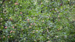Äpplen i ett träd