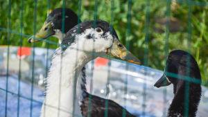 Fåglar bakom ett nät