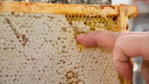 Tomas Bruce provsmakar honungen från bikakan