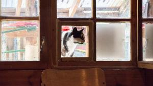 En svartvit katt tittar in från en lucka