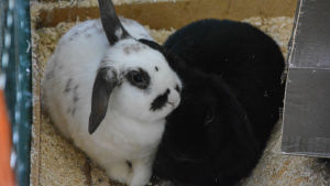 Två kaniner i en öppen bur