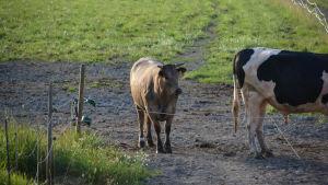 En ko