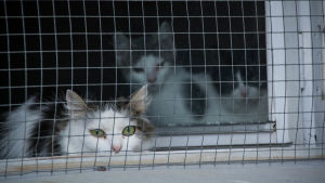 En kattfamilj bakom ett hönsnät