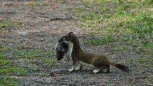 En hermelin står på en stig. Den har en död mus i munnen.