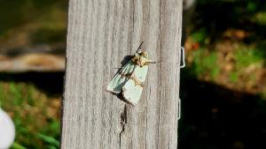 Grönt rotfly, en fjäril med ett brunt streck över de gröna vingarna, sitter på en bräda.