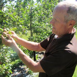 Rune Drockila i Pyttis, Kvarnby, inspekterar äppelkarten