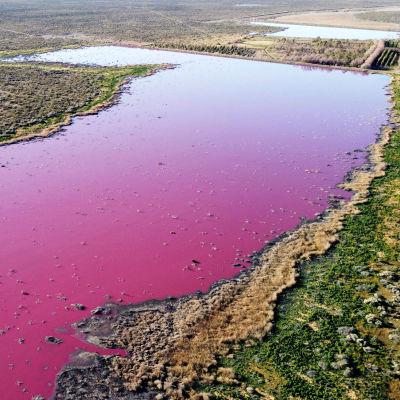 Kirkkaan violetiksi värjäytynyt järvi.